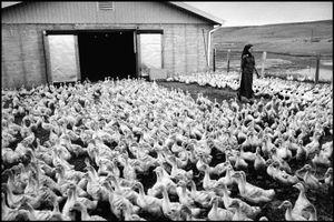 © George Webber - Pathway through the ducks, 2000