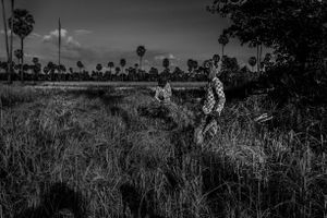 Harvest rice in Cambodia