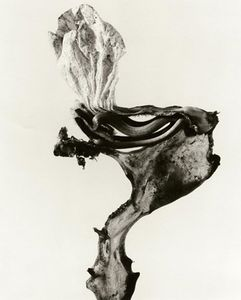 Herbarium series, Guillumeta polymorpha, 1982, Selenium toned gelatin silver print, 40 x 30 cm © Joan Fontcuberta