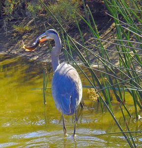 Great Blue Heron with lunch