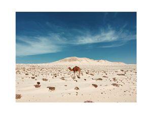 Jamal الجمل العربي . Dakhla, Western Sahara.