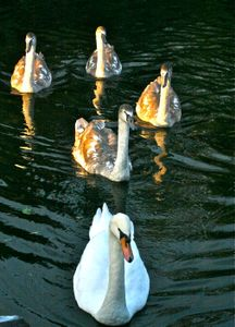 Swan Family At Sunset