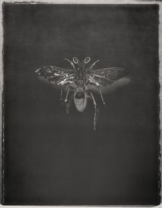 Tarantula Hawk, Pepsis mildei