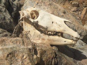 Skull of donkey