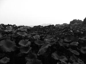 whispering lotus