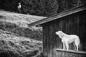 Slovakian sheperd`s dog an official breed.