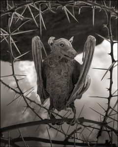 Calcified Bat II © Nick Brandt. Courtesy of Edwynn Houk Gallery, New York