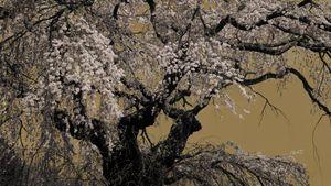 Sakura no1