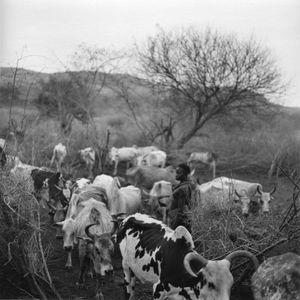 Cattle at the settlement