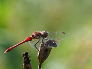 Blutrote Heidelibelle im Ansitz zur Jagd