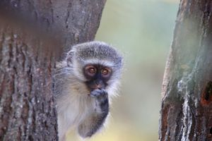Smal vervet monkey in a tree