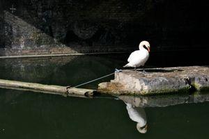 A Swan Under A Bridge