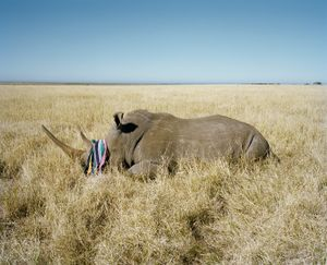 rhino with beach towel # II, game farm, northern cape, south africa-from the series 'hunters'-David Chancellor