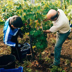 Selección de la uva .