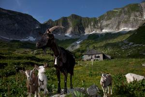 Chèvres devant chalet d'alpage. Réserve naturelle du Vanil noir.