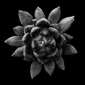 Succulent Series #28 - Graptoveria Bella