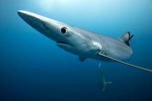 Blue shark portrait