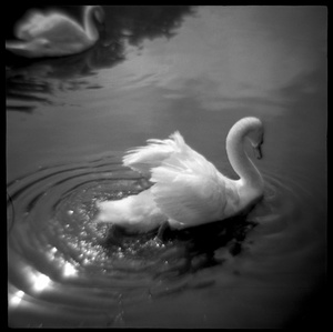 Swans in Golden Gate Park, San Francisco, CA