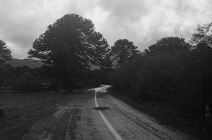 Araucaria´s road