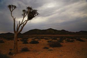 Lonely Kokerboom
