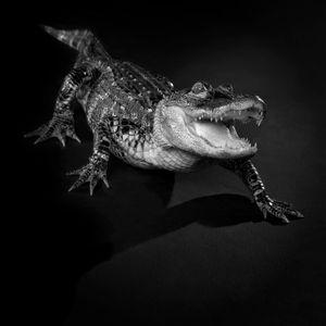 American alligator(Alligator mississippiensis)