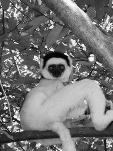 Lemur at Camp Catta 2