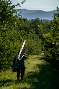 Winston Howe of Clarendon, Jamaica carries an apple ladder