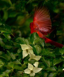 Cardinal in the Kousa