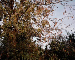 Diospyros virginiana, (Virginia Possumwood)