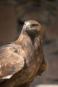 falcon protrait