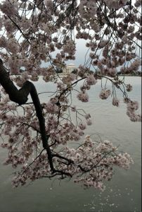 Jefferson Memorial, Framed by Cherry Blossoms, Washington, D.C.