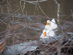Pair of Peking Ducks