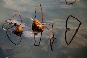 Lotus lake in autumn_2