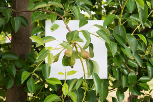 Stage: Emilia Romagna. Pear trees, are ypical of this area. Emilia Romagna is one of the bigger producers of this fruit in all of Europe.