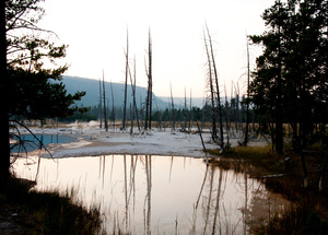 Dead Forest - Yellowstone, WY