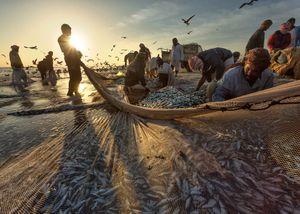 Sardine Season (10)