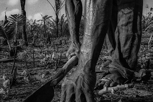 Manioc Plantation