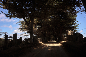 a tunnel of pines