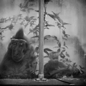 Monkey in Greenhouse WIth Doll