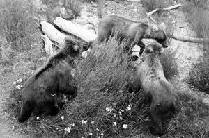 Three young bears in Katmai National Park