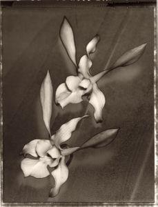 11 Dendrobium gouldii © Frazier King