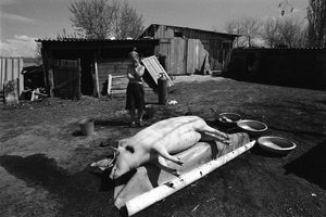 Grief about the killed pig