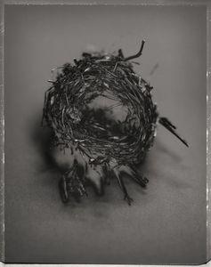 Cup Nest, unidentified species