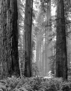 Forest Fire Smoke, Jedediah Smith Redwoods, CA