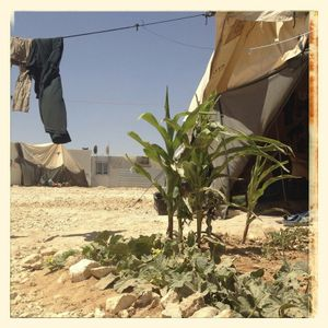 Plants growing by a dwelling in Za'atari refugee camp