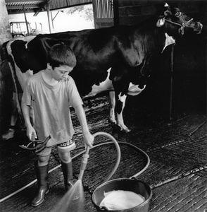 Robin Prepares his Cow for Competition. La Bastide Clairence.