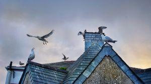 Gulls of Cornwall