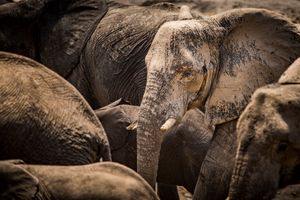 After Bath - African Elephant
