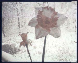 Daffodils Aghast