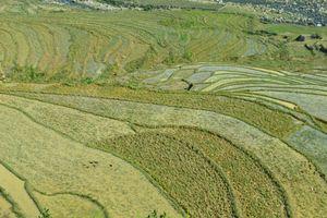 Plantation of rice